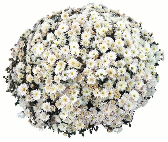 Chrysanthemum 'Padre White'
