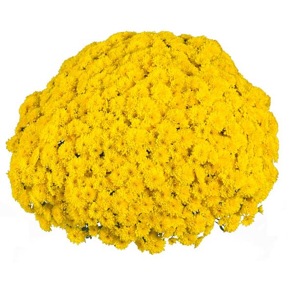 Chrysanthemum 'Vitamum™ Party Yellow'