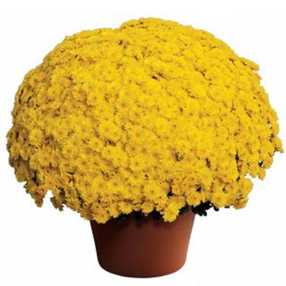 Chrysanthemum Ursula™ Sunny Yellow