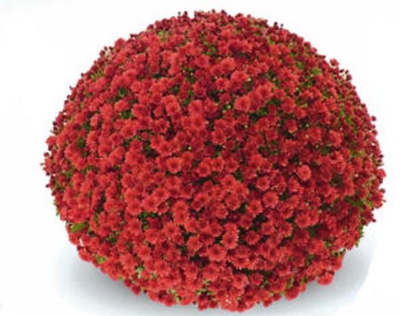 Chrysanthemum 'Belgian Mums® Thera Red'