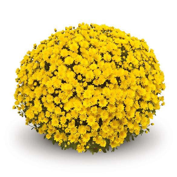 Chrysanthemum 'Veritas Yellow'