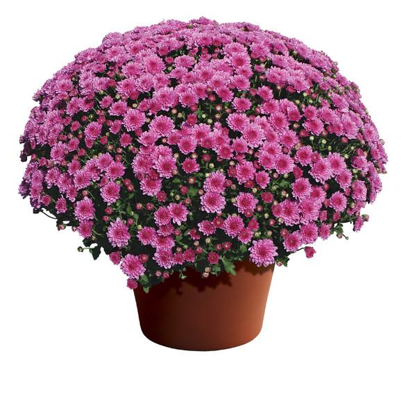 Chrysanthemum Wanda™ Lavender