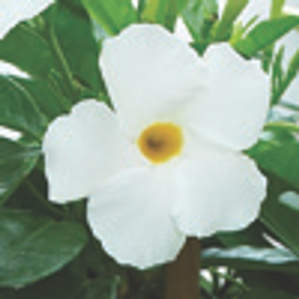 Mandevilla Sun Parasol® 'Original White bloom