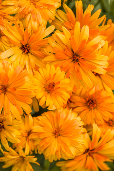 Calendula hybrid 'Lady Godiva® Orange'
