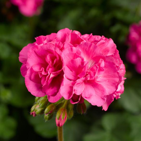Pelargonium  'Calliope® Pink '