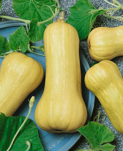 Squash 'Butternut Waltham'