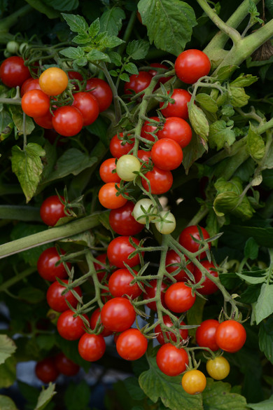 Tomato 'Candyland Red'