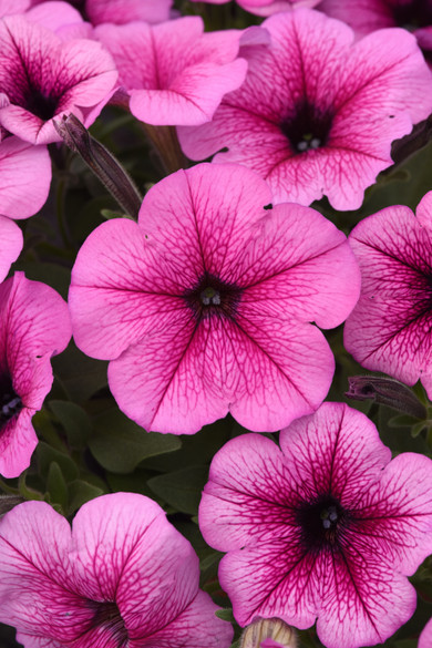 Petunia 'Easy Wave® Rose Fusion'