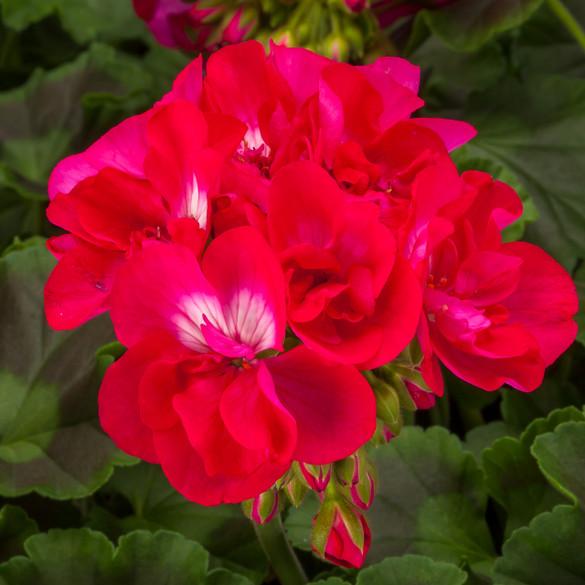 Pelargonium 'Calliope® Hot Rose'