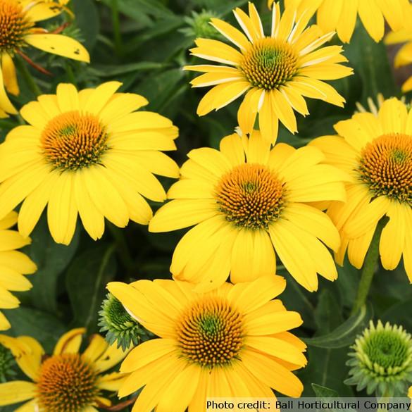 Echinacea Sombrero Series 'Lemon Yellow Improved'