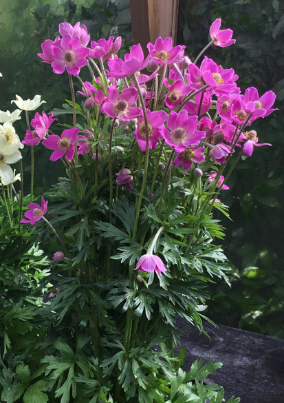 Anemone 'Spring Beauty'