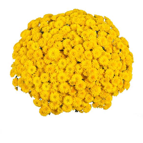 Chrysanthemum 'Vitamum™ Sing Yellow'