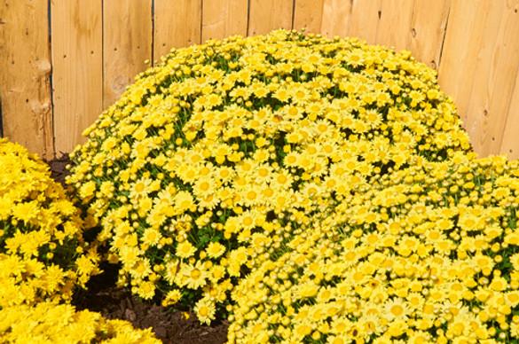Chrysanthemum 'Sundance Igloo'