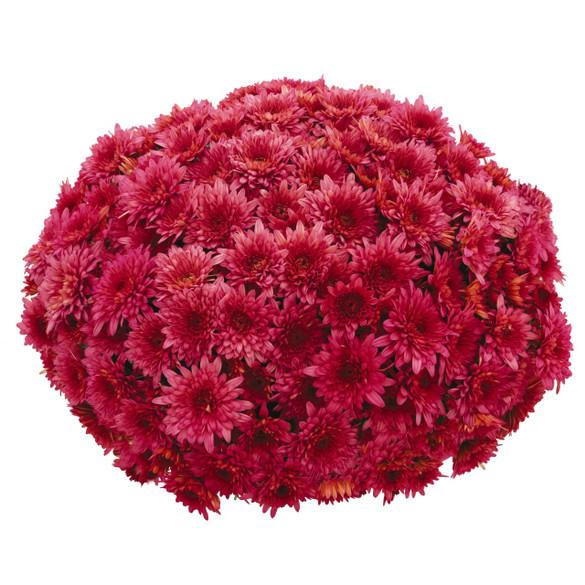 Chrysanthemum 'Vitamum™ Darling Pink'
