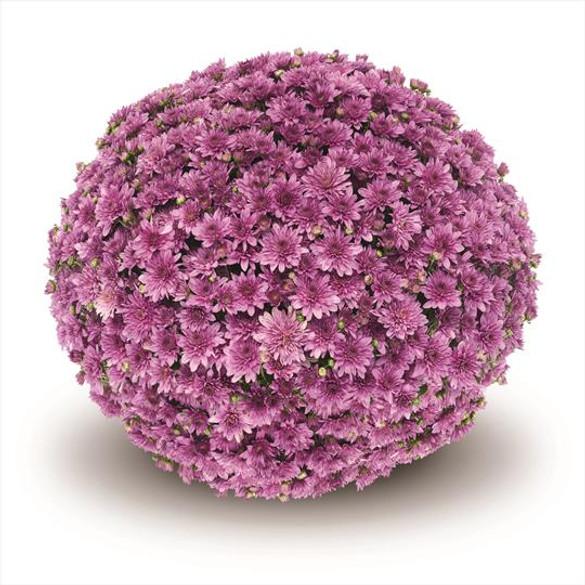 Chrysanthemum 'Belgian Mums® Fonti Dark Pink'