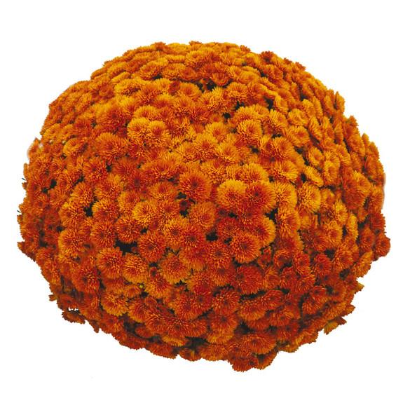 Chrysanthemum 'Vitamum™ Toast Orange'