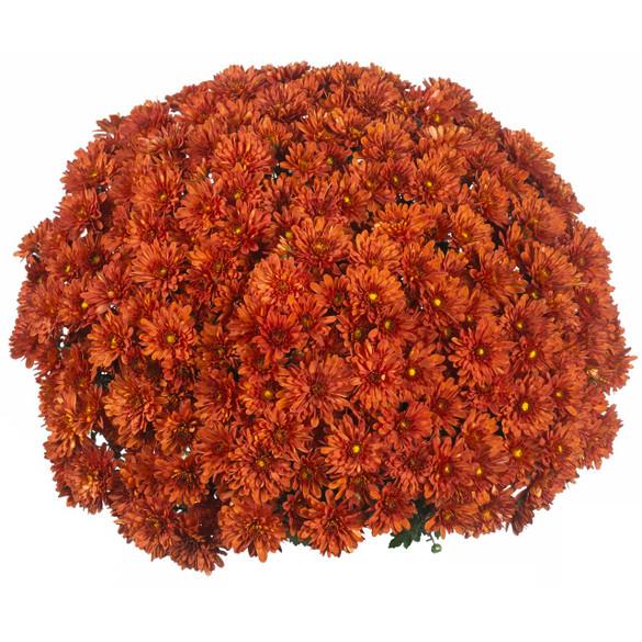 Chrysanthemum 'Vitamum™ Jolly Dark Bronze'