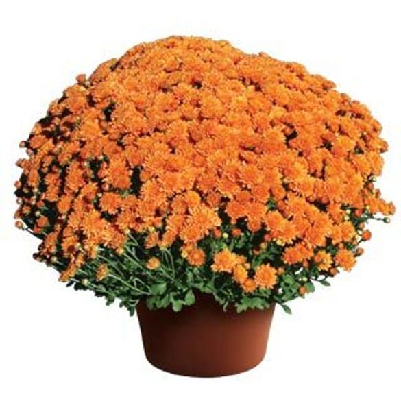 Chrysanthemum 'Ursula™ Fancy Orange'