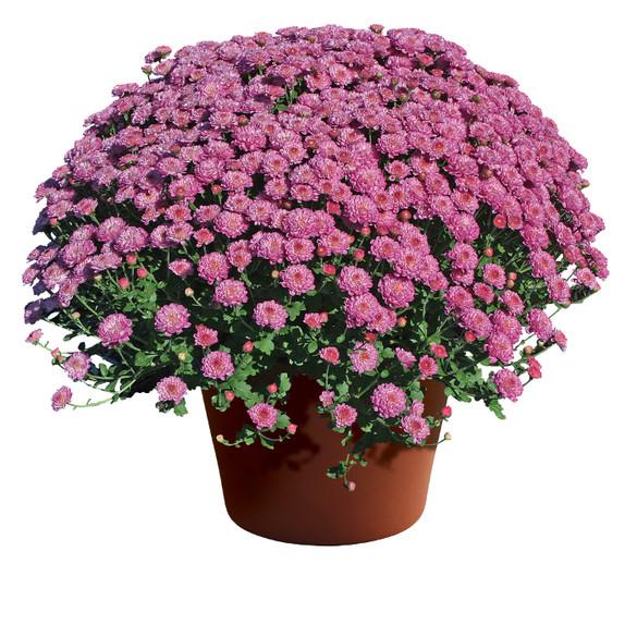 Chrysanthemum Gigi™ Dark Pink