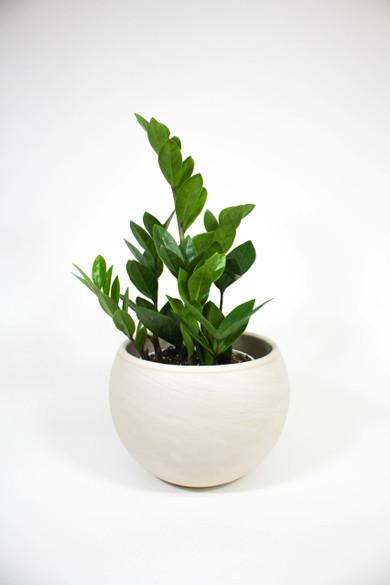 ZZ Plant in ceramic pot