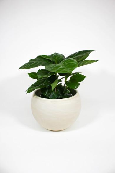 Coffee Plant in ceramic pot