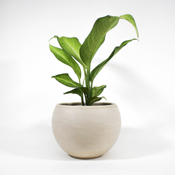 Dieffenbachia 'Camouflage' in ceramic pot