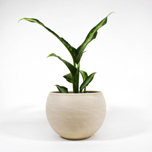 Dieffenbachia 'Panther' in a ceramic pot