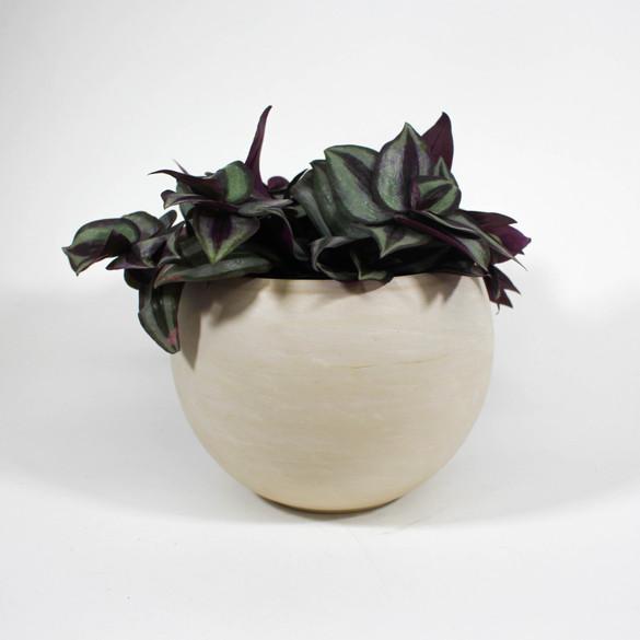 Tradescantia zebrina 'Silver Plus' in ceramic pot