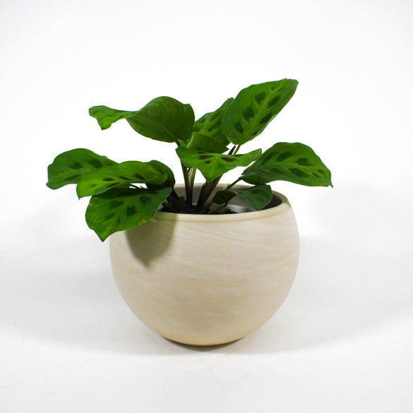 Maranta leuconeura in a ceramic pot