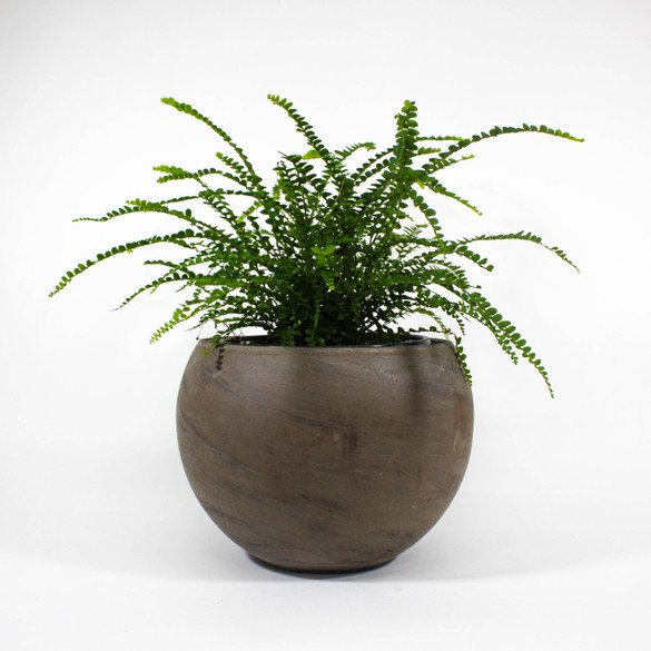 "Lemon Button Fern 6"" in ceramic pot"