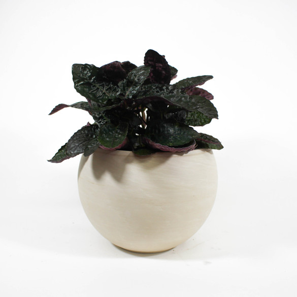 Purple Waffle Plant in ceramic pot