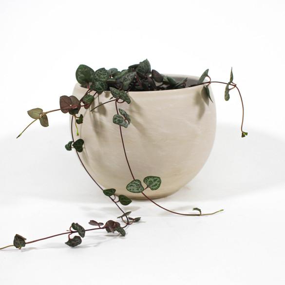 String of Hearts in ceramic pot