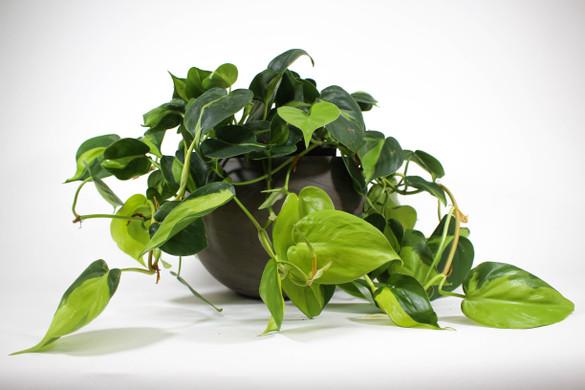 Philodendron 'Brasil' in ceramic pot