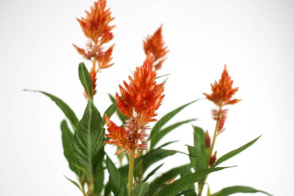 Close up of Celosia 'Kelos® Fire Orange' foliage