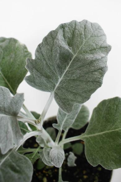 close up of Senecio cineraria 'Dusty Miller New Look'