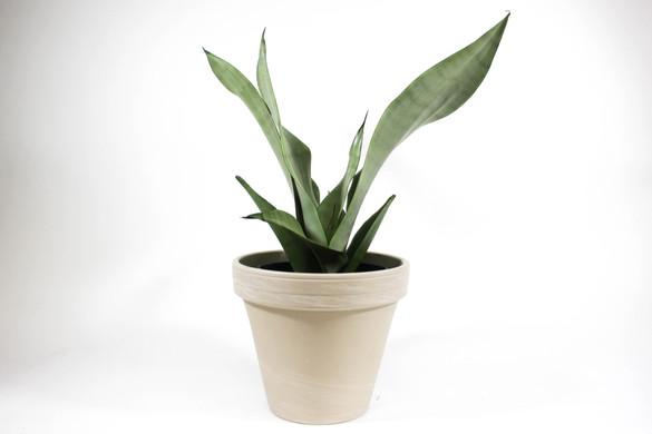 Sansevieria trifasciata 'Moonshine' in decorative pot