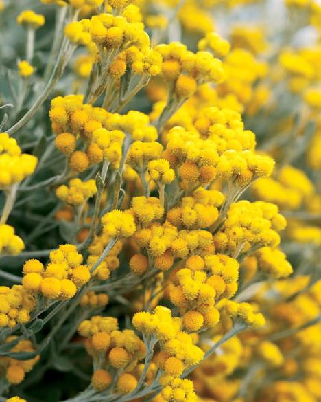 Chrysocephalum apiculatum 'Flambe Yellow'