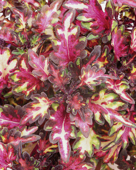 Coleus hybrid 'Merlins Magic'