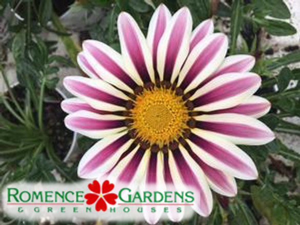 Gazania  'Big Kiss™ White Flame'