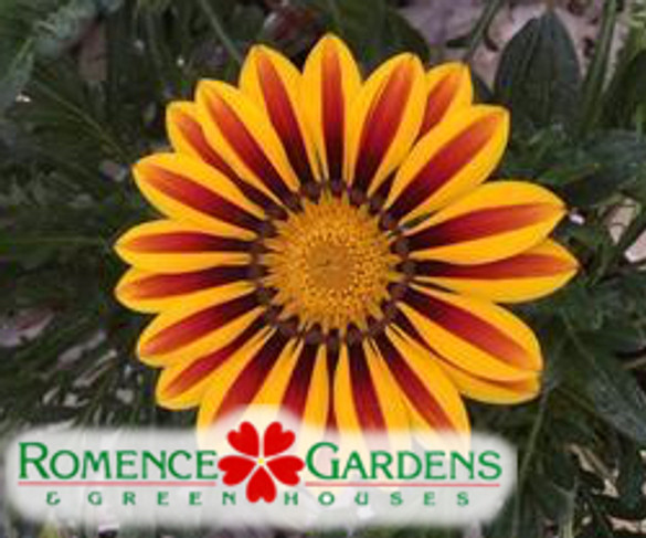 Gazania  'Big Kiss™ Yellow Flame'