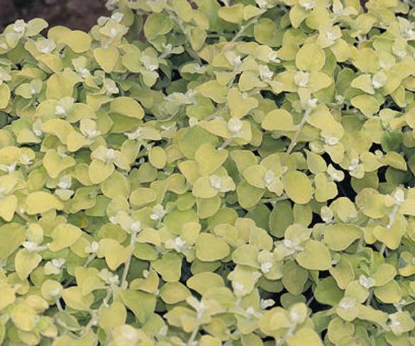 Helichrysum petiolare 'Lemon Licorice'