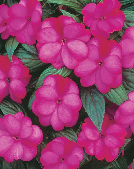 Impatiens hawkeri 'Infinity® Blushing Lilac' bloom