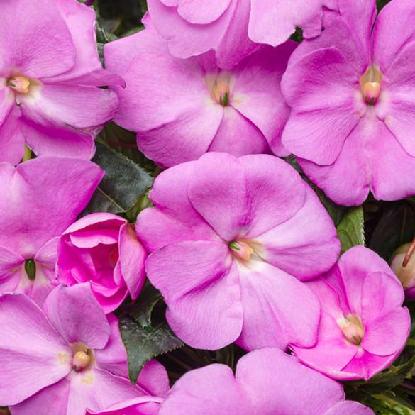 Impatiens hawkeri 'Infinity® Lavender'
