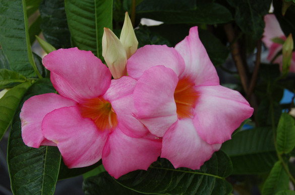 Mandevilla Sun Parasol® 'Giant Dark Pink'