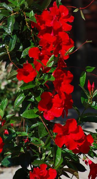 Mandevilla Sun Parasol® 'Giant Red Emperor'