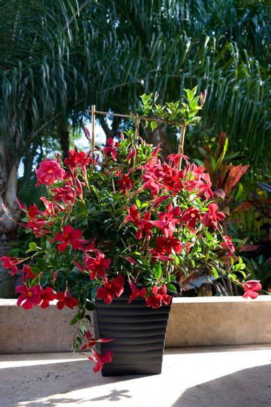 Mandevilla Sun Parasol®  'Pretty Crimson'