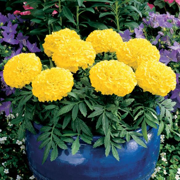 Marigold Antigua™ Yellow