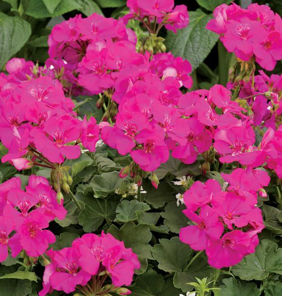 Pelargonium 'Boldly® Lavender Rose' bloom