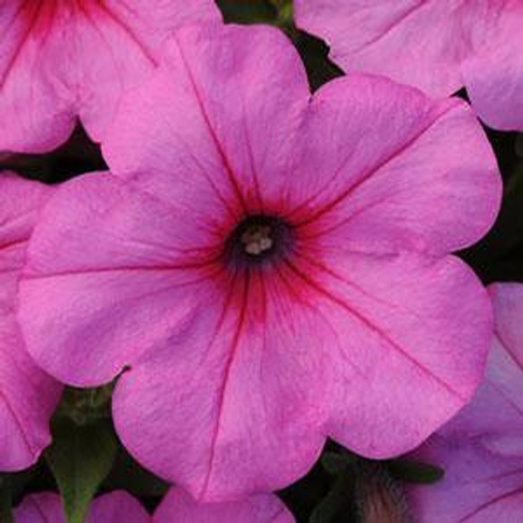 Petunia 'Easy Wave® Pink Passion'