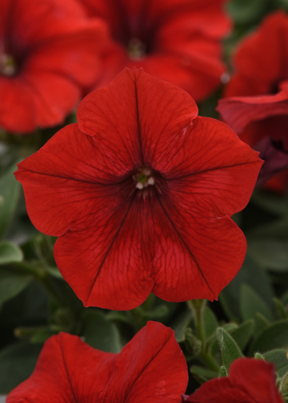 Petunia 'Easy Wave® Red Improved'